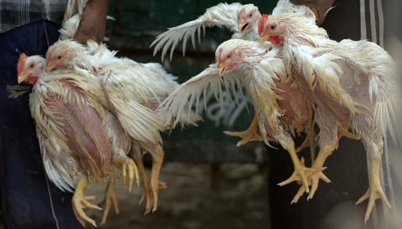 Sacrifican a 310.000 pollos y 16.500 patos por gripe aviar