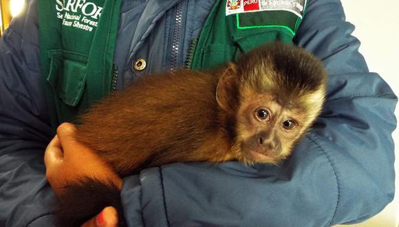 Cusco: rescatan a mono machín en aeropuerto Velasco Astete