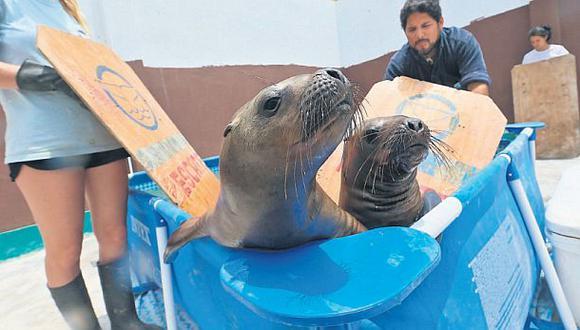 Una segunda vida para los lobos marinos en San Bartolo