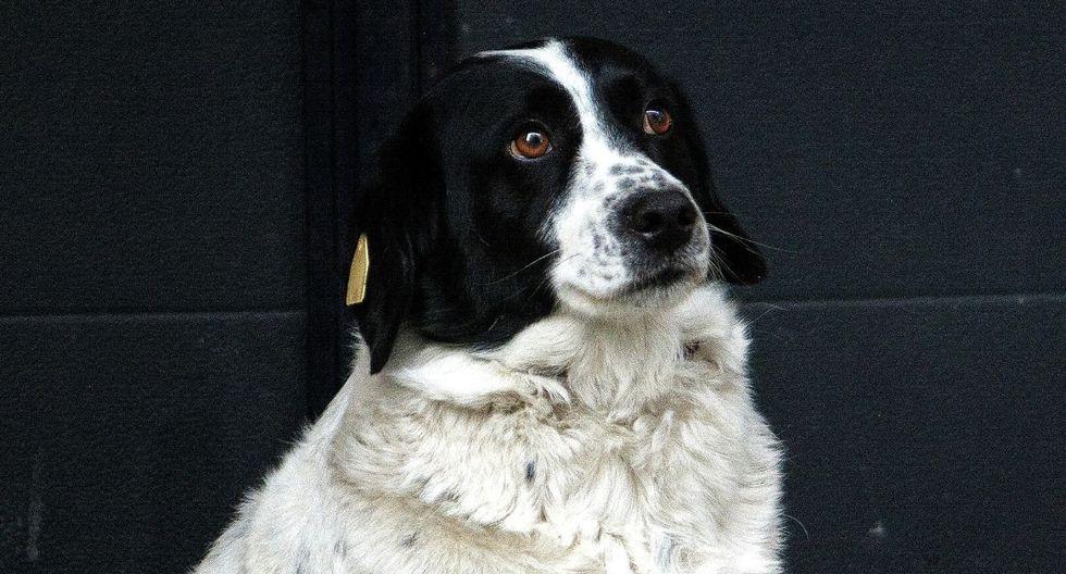 Este es Kupata, el perro más célebre de Georgia. (Efe)