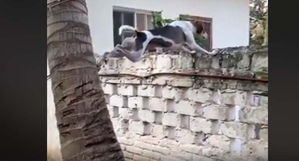 Hizo todos los esfuerzos para trepar la palmera y presenciar en vivo y en directo la pelea de sus vecinos.| Foto: Facebook/Conexión Informativa