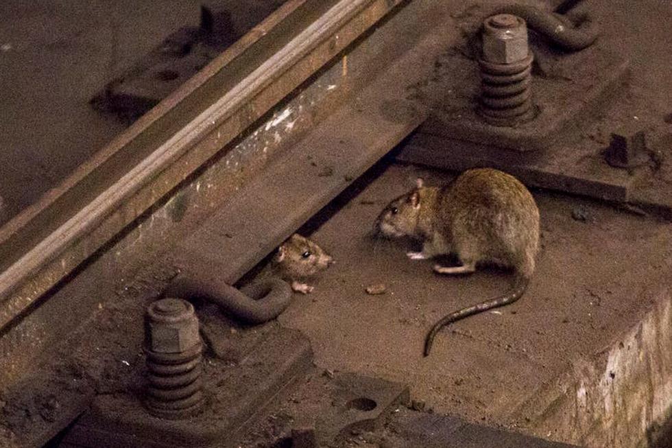 Las ratas estarían buscando otros puntos para abastecerse luego que restaurantes cierren. (Foto: AFP)