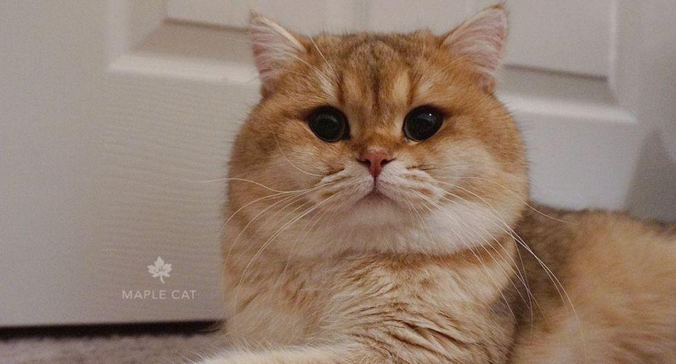 Los ojos de Maple parecen hipnotizar a miles de usuarios. (@maple.cat)