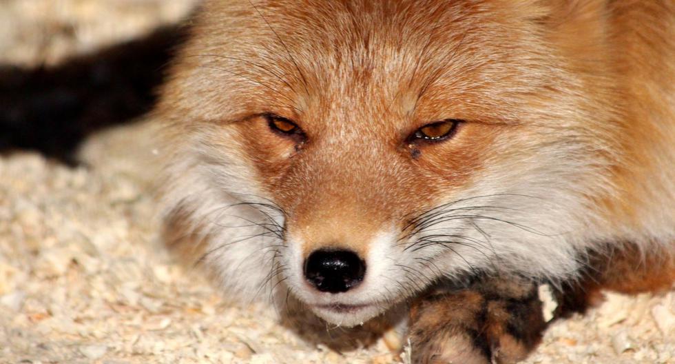 Un zorro protagonizó un divertido momento que cautivó a más de uno en las redes sociales. (Foto: Pixabay/Referencial)