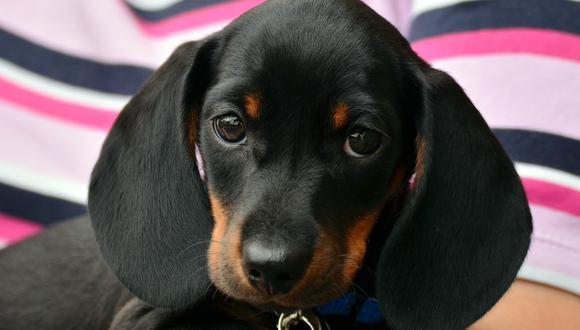 Un cachorro tiene necesidades nutricionales diferentes a las de un perro adulto. (Foto: Pexels)