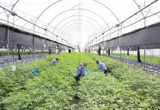 Cómo es pasar un día en un campo de cultivo industrial de cannabis en Colombia
