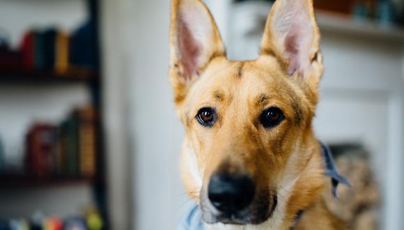 Si tu perro tiene orejas caídas requerirá unas limpieza más regular. (Foto: Pexels)