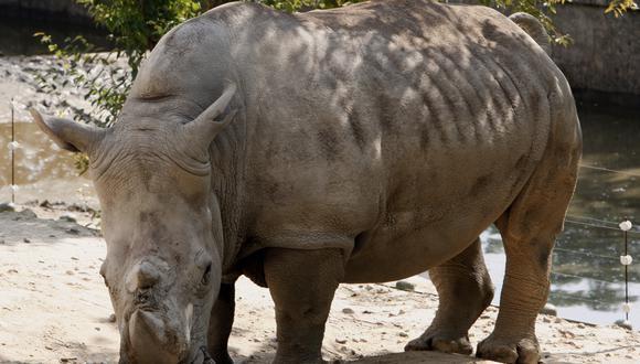 Los rinocerontes se encuentran en peligro de extinción. (Foto: EFE)