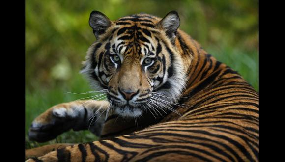 En el mundo solo quedan 3.200 tigres en libertad