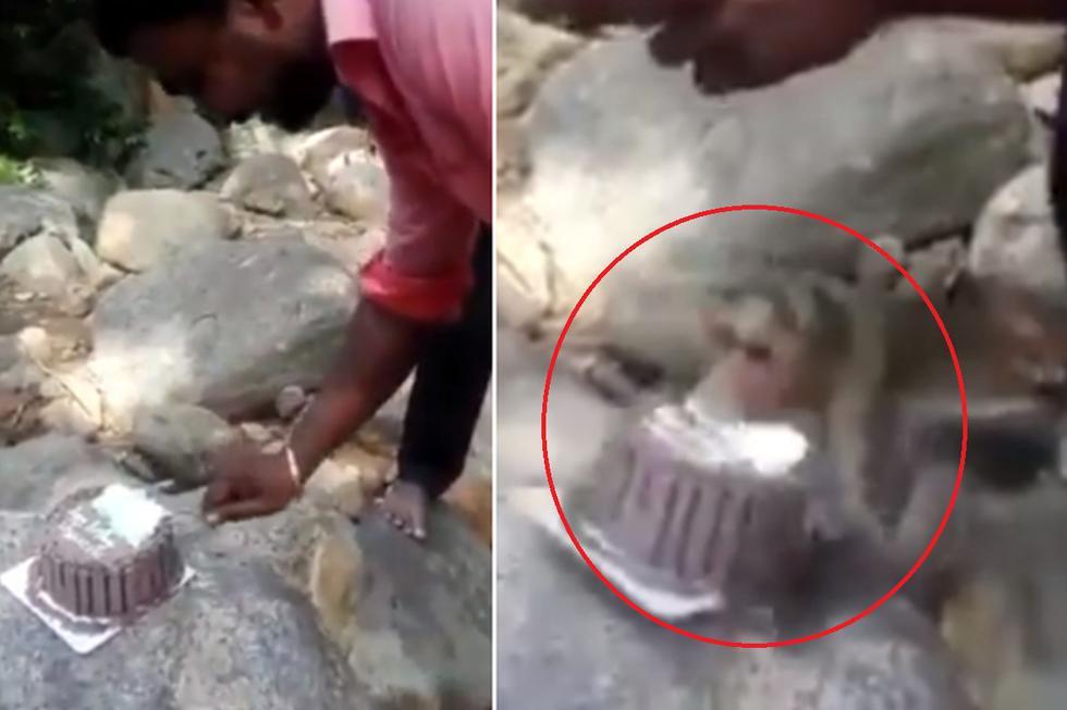 Foto 1 de 3 | El mono agarró un pastel que era parte de una pequeña celebración de una pareja. | Crédito: @susantananda3 en Twitter. (Desliza hacia la izquierda para ver más fotos)
