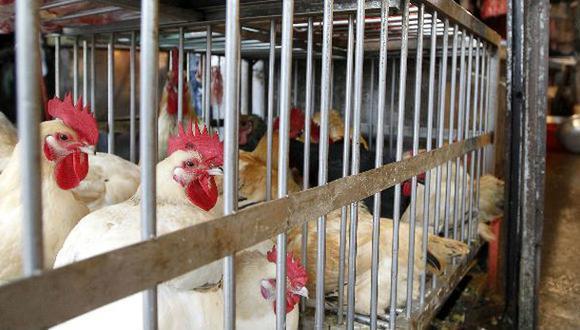 Japón sacrifica 112 mil gallinas por gripe aviar