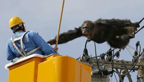 Japón: Chimpancé escapa de zoológico y trepa por cables de luz