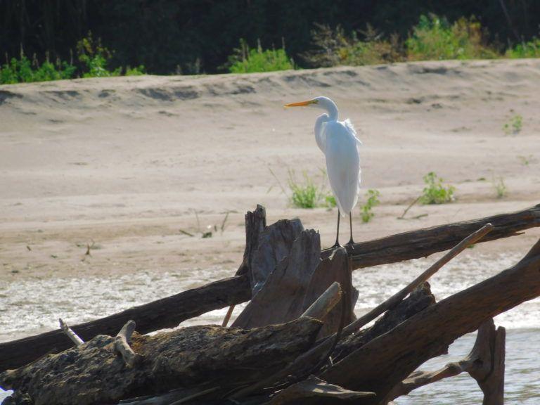 Se calcula en 520 las especies de aves que habitan en el Parque Nacional Alto Purús, en Perú. Foto: ProPurús.