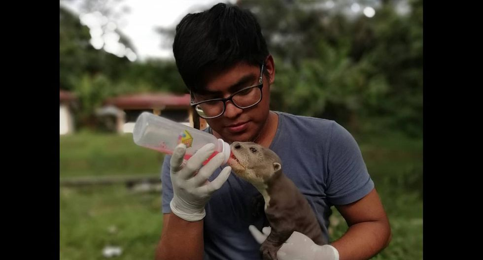 Julio Novoa, voluntario de CREA, alimenta a un pequeño lobo de río. (Foto: CREA)