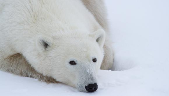 Imagen de un oso polar en Churchill, Manitoba, Canadá. (Foto: MILLER / POLAR BEARS INTERNATIONAL / AFP)