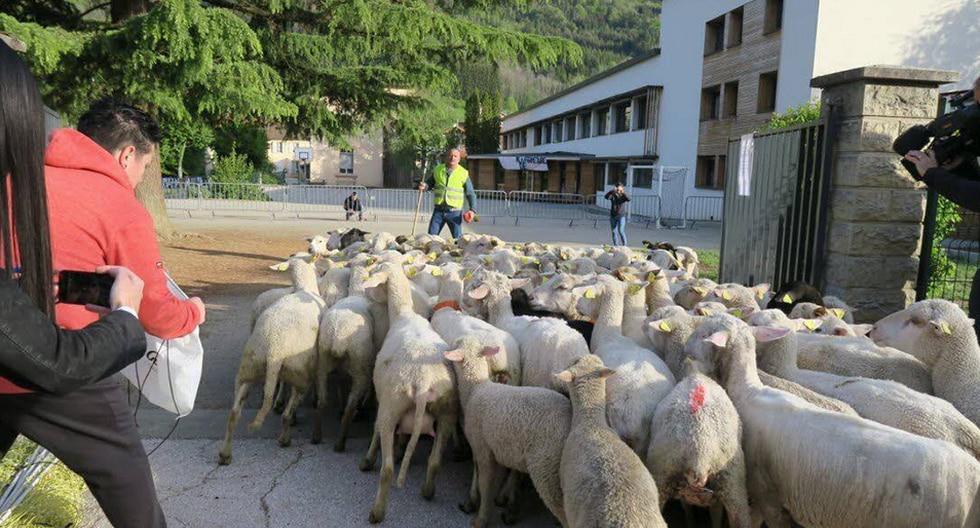Inscriben en Francia a 15 ovejas en escuela rural para evitar cierre de una clase. (Facebook)