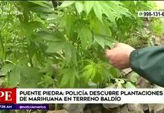 Policía halla plantación de marihuana en terreno abandonado