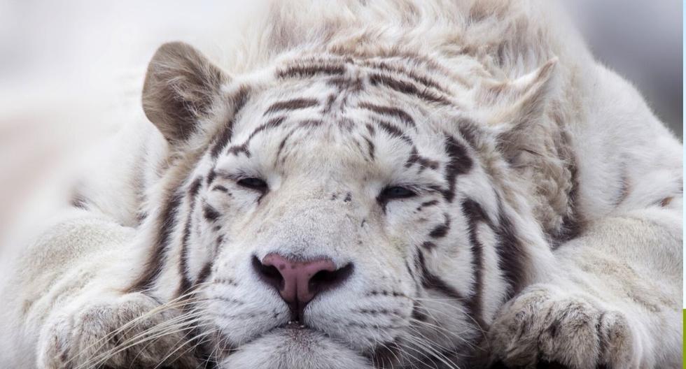 El protagonista del video es un tigre de Bengala blanco. (Foto referencial: Pixabay)