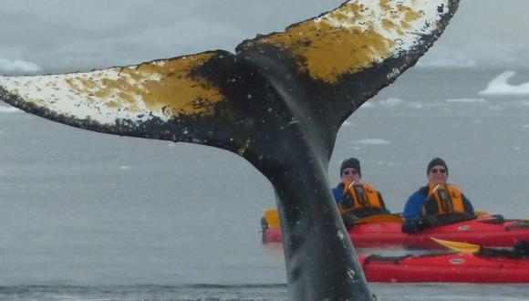 Las ballenas se movieron todo el tiempo muy suavemente entre los kayaks.  Foto: Luis Turi