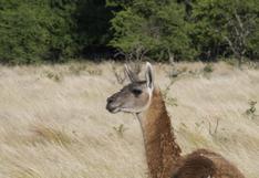 Argentina: los guanacos vuelven a repoblar un área protegida donde se habían extinguido
