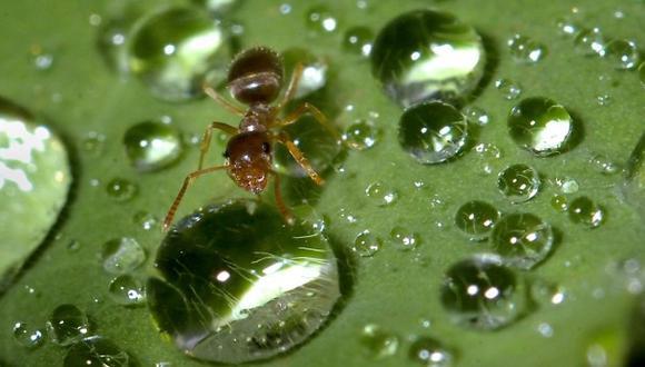 Las hormigas podrían ser los agentes climáticos biológicos más poderosos del planeta.(Foto: AP)