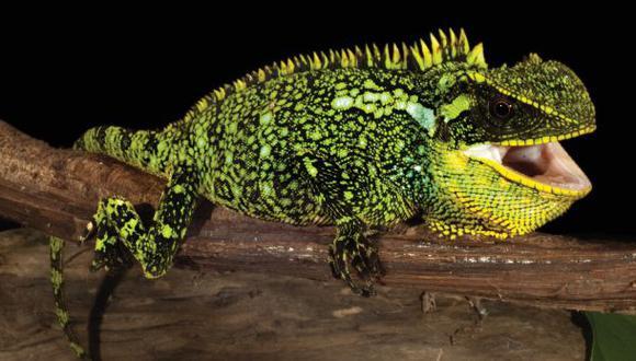 Una de las tres nuevas especies: el Enyalioides altotambo. (Foto: Zookeys/Luis A. Coloma)