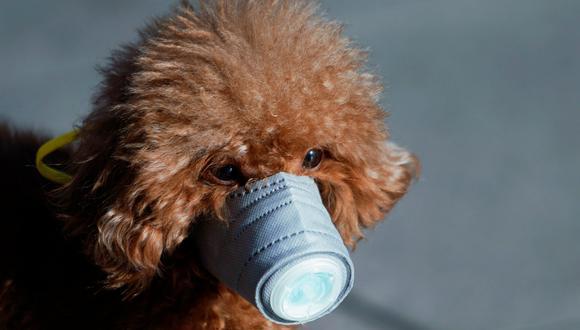Un perro en Shangai lleva una mascarilla.  El coronavirus tiene a todos alarmados en China.  (Foto: Reuters)