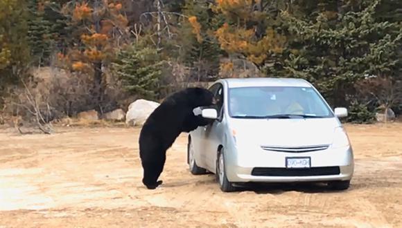 Este oso casi le quita la vida una pareja de novios muy imprudente en Canadá.   YouTube