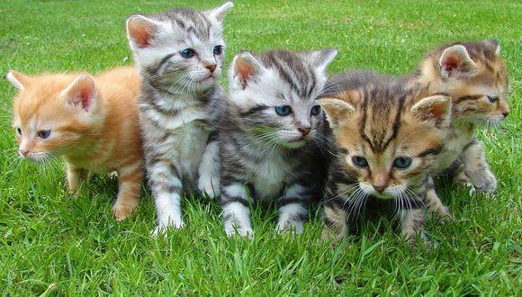 El nombre actual en muchas lenguas proviene del latín vulgar catus. Paradójicamente, catus aludía a los gatos salvajes, mientras que los gatos domésticos, en latín, eran llamados felis. (Foto: Pixabay)