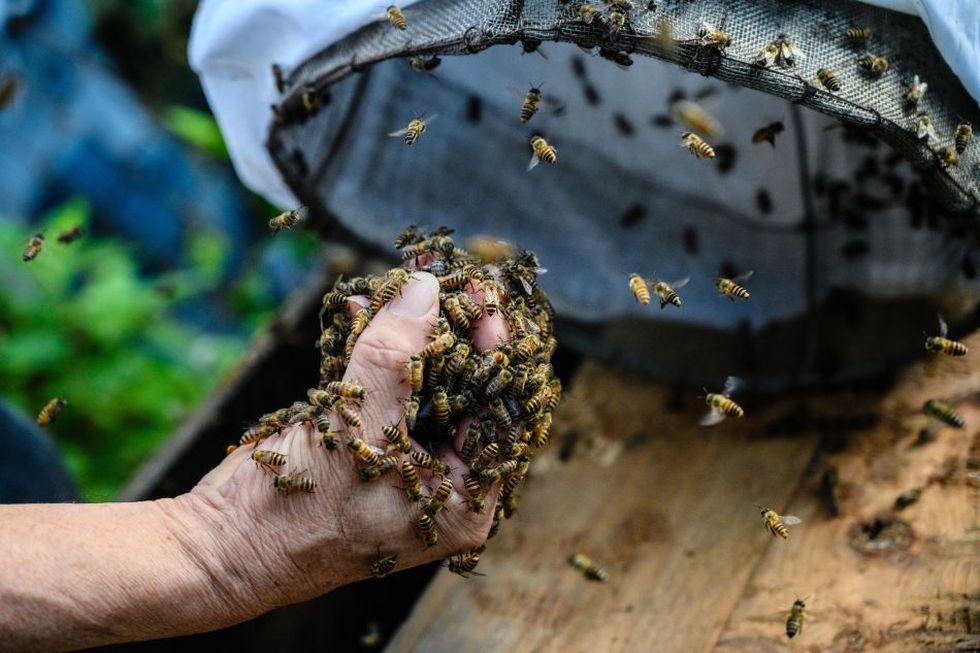 Yip Ki Hok no le teme a las abejas y trabaja con ellas a diario usando siempre el mismo método: manos libres. (Foto: AFP)