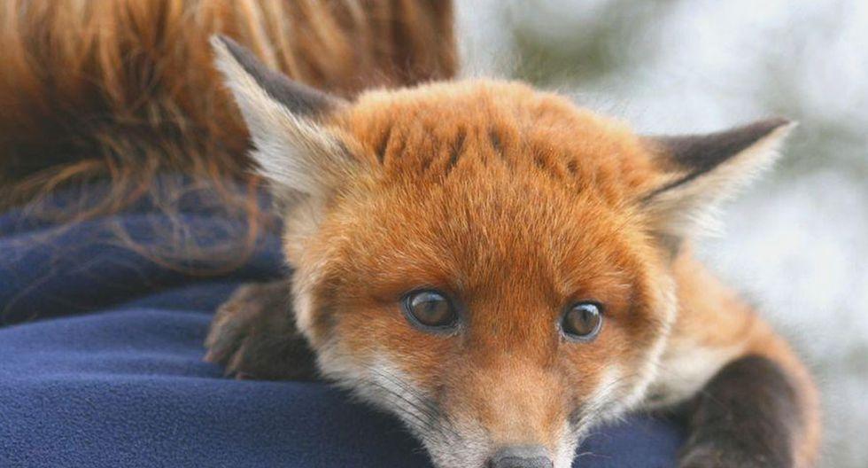 En algunas circunstancias los zorros salvajes son domesticados.| Foto: Referencial/Pexels