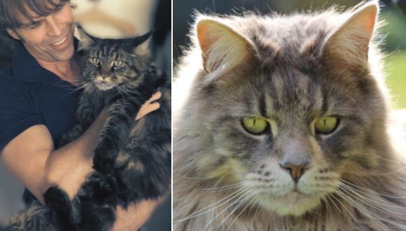 Los gatos esterilizados de raza Maine Coon pueden llegar a pesar de 10 a 15 kilos. (Foto referencial: Katja Thalmann / Leo_65 / Pixabay)