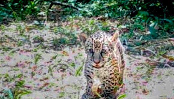 Karai y Porã: dos nuevos cachorros para soñar con el regreso del jaguar al Iberá | Argentina