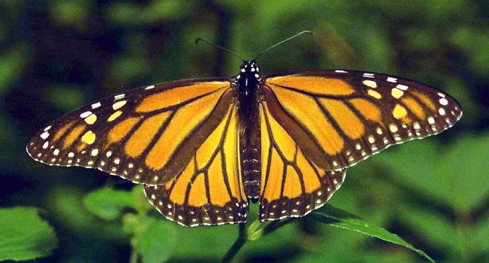 En 2014, Canadá, Estados Unidos y México establecieron un programa para conservar la especie. (Foto: AFP)