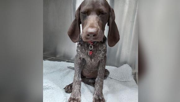 Pepper, el perro que comió el anillo de compromiso de su dueña (Foto: Facebook)