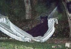 Un oso se echó a descansar en la hamaca de una casa en Florida