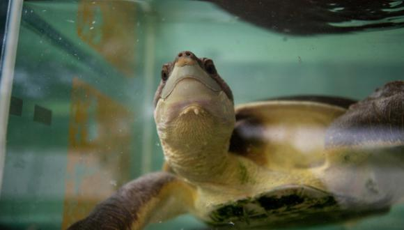 Una tortuga de caparazón blando en su recinto en el Live Turtle and Tortoise Museum en Singapur. (Foto: AFP)