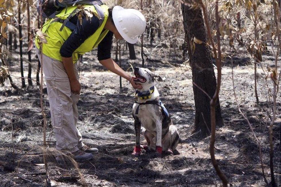 El perro que arriesga su vida buscando a koalas sobrevivientes entre los incendios de Australia. (Facebook |ifaw)