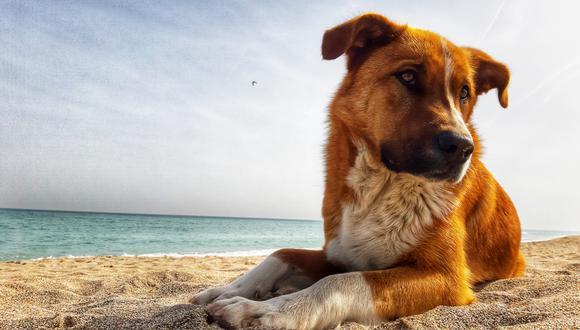 Una creencia de verano es que se debe rapar a los perros para que estén más frescos. Esto dicen los especialistas. (Foto: Shutterstock)