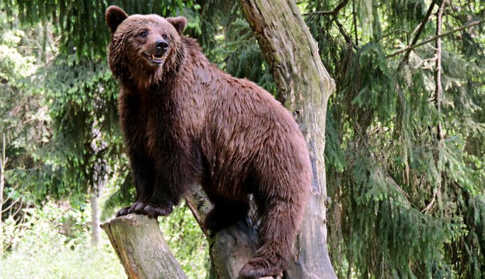 El accionar del oso fue muy comentado en YouTube. (Pixabay / Cairomoon)