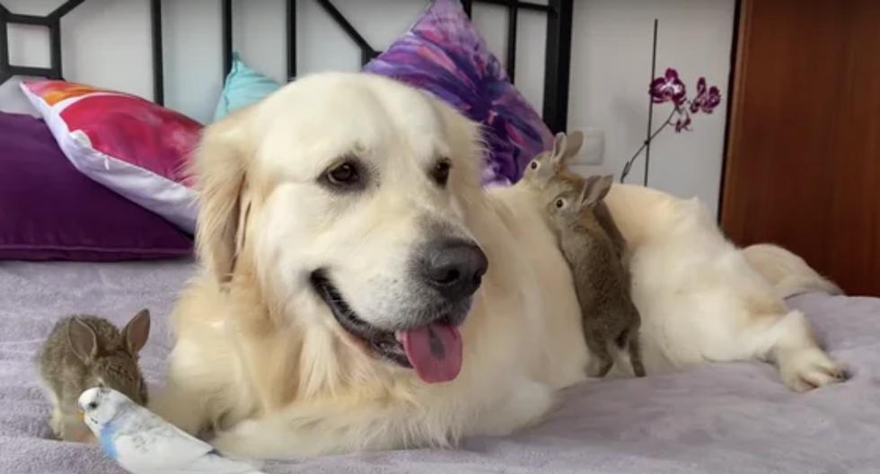 """Una adorable escena conquistó los corazones de las redes sociales al mostrar a un perro de raza golden retriever cuidando a unos conejitos que lo tratan """"como si fuera su madre"""". (Fotos: This is Bailey en YouTube)"""