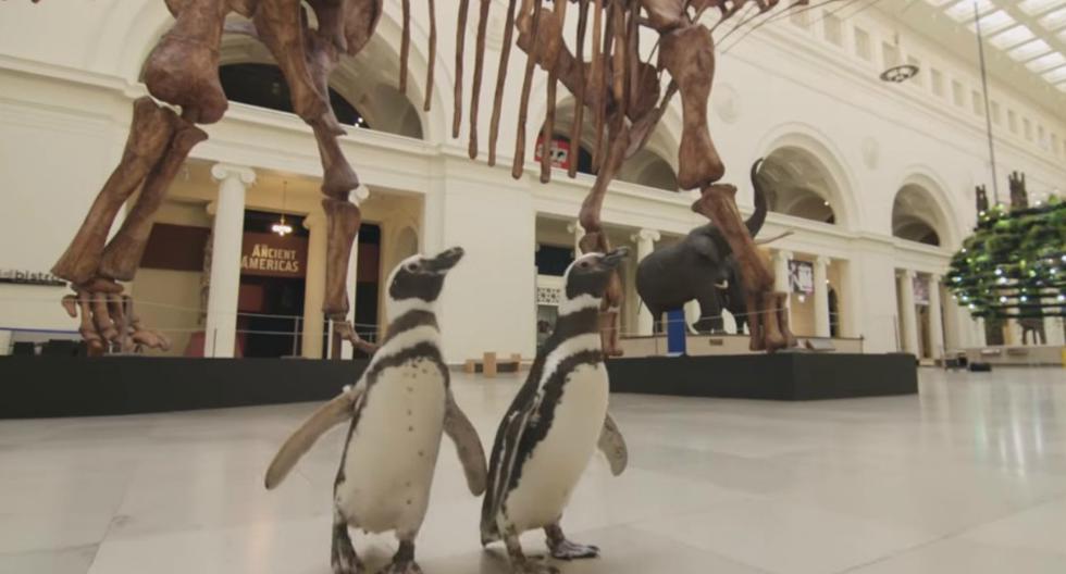 FOTO 1 DE 4 | Aprovechando que está cerrado al público, unos pingüinos realizaron una visita 'guiada' por las instalaciones del Museo Field de Historia Natural de Chicago (Estados Unidos). | Foto: Captura/Shedd Aquarium (Desliza a la izquierda para ver más fotos)