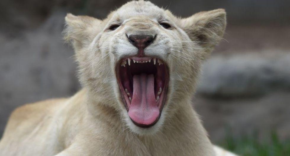 ¿Se imaginan tener tres leones de mascota? (Foto: AFP)