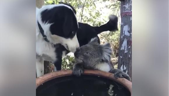 El perro se llama Rusty y el koala Quasi y se conocen desde hace años.  (Facebook)