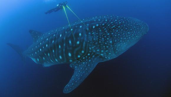 Se estima que un tiburón ballena muerto vale entre 3 y 4 mil dólares. Mientras que países como Belice generán más de un millón de dólares al año por turismo relacionado a esta especie. Créditos: Jonathan Green / Galapagos Whale Shark.