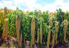 Ayacucho: presentan nuevas variedades de quinua y kiwicha para hacer frente a la pandemia