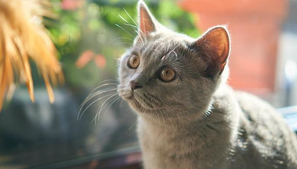 Los gatos aparecieron en la Tierra antes que la mayoría de los actuales animales domésticos, sin embargo, han sido uno de los últimos en ser domesticados  (Foto:Pixabay)