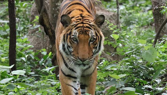 Imagen referencial de un tigre en Camboya. Foto: Rhett A. Butler / Mongabay.