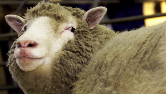 Los clones de la oveja Dolly envejecen con buena salud