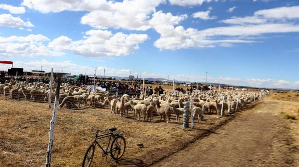 Reserva de alpacas fue inaugurada en Puno - 1